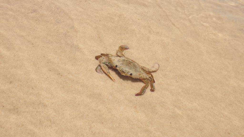 delta des ameriques crabes