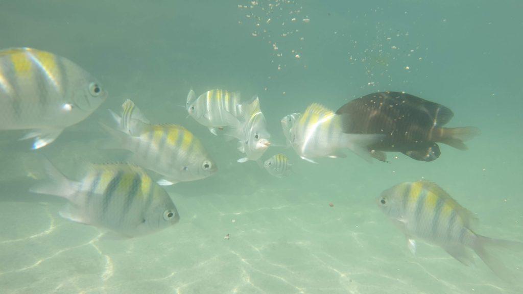 poissons Carneiros