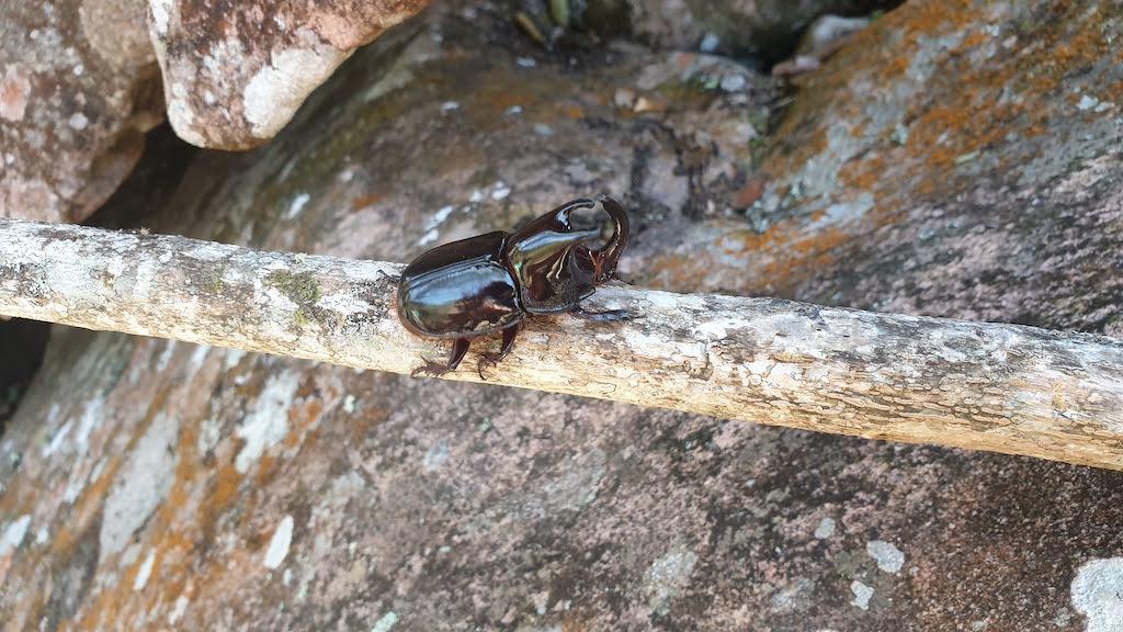 scarabee bresil