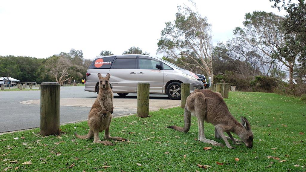 kangourou pendant location de van en australie