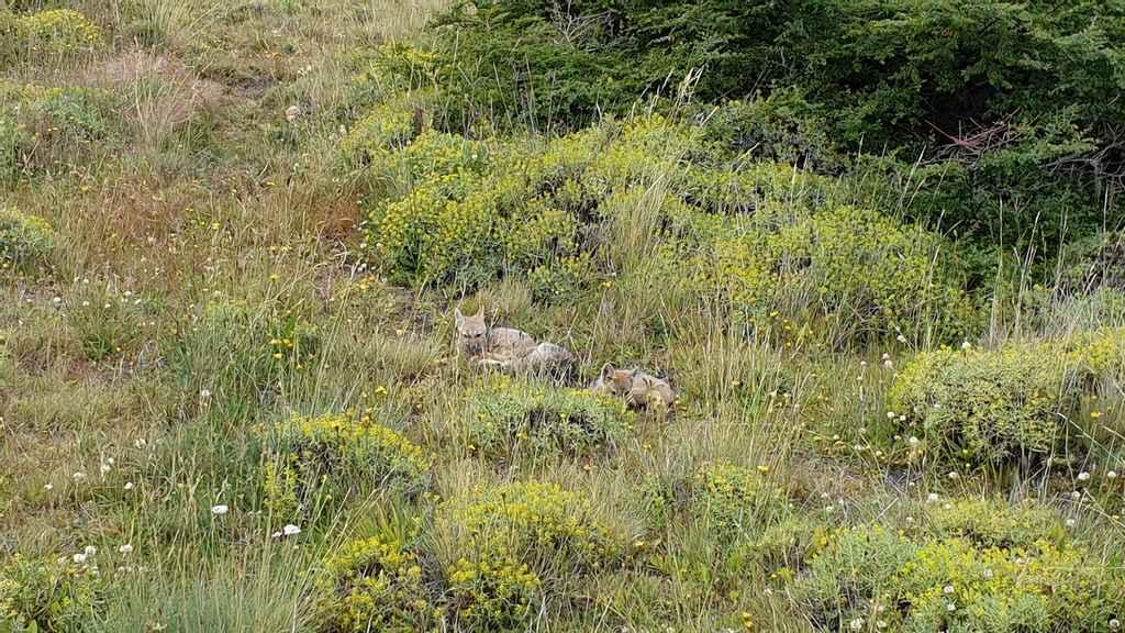 zorro renards de Patagonie